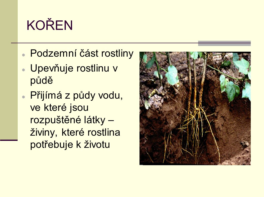 KOŘEN Podzemní část rostliny Upevňuje rostlinu v půdě Přijímá z půdy vodu, ve které jsou rozpuštěné látky – živiny, které rostlina potřebuje k životu