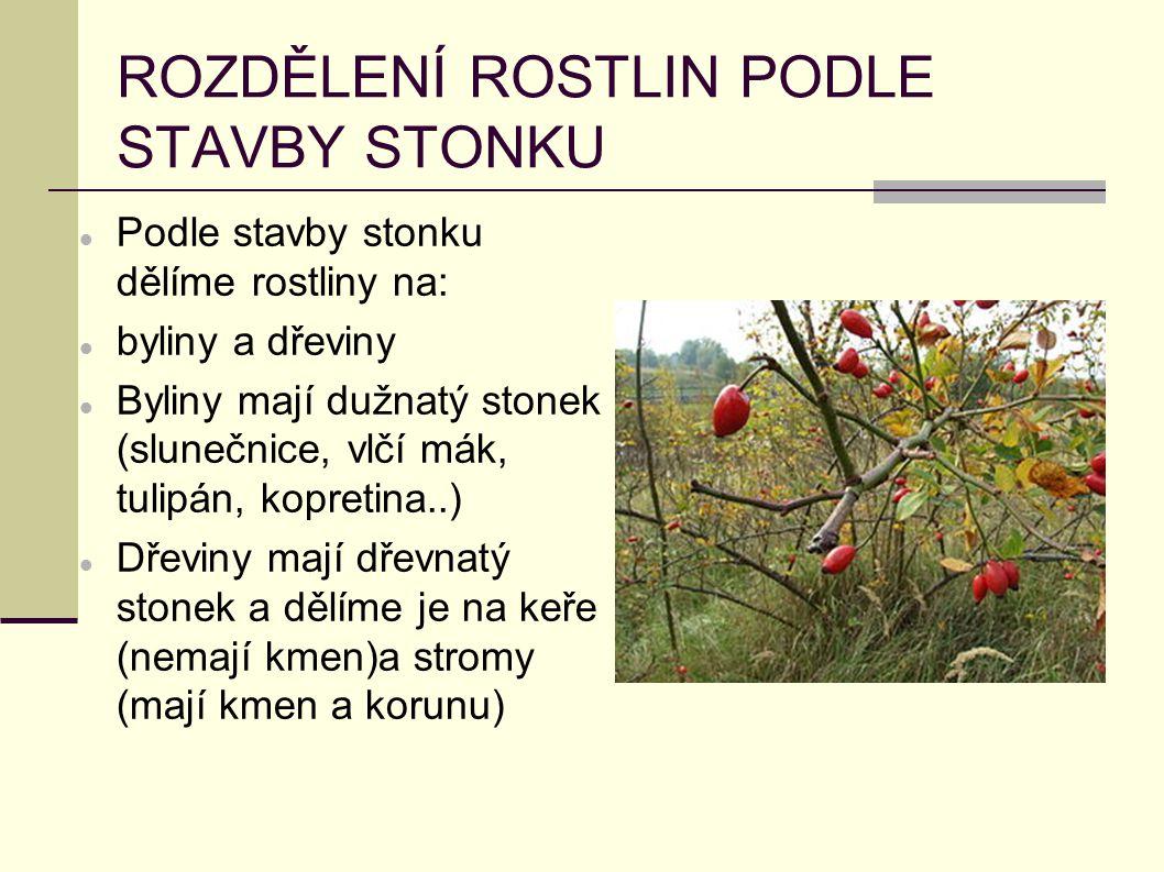 ROZDĚLENÍ ROSTLIN PODLE STAVBY STONKU Podle stavby stonku dělíme rostliny na: byliny a dřeviny Byliny mají dužnatý stonek (slunečnice, vlčí mák, tulip