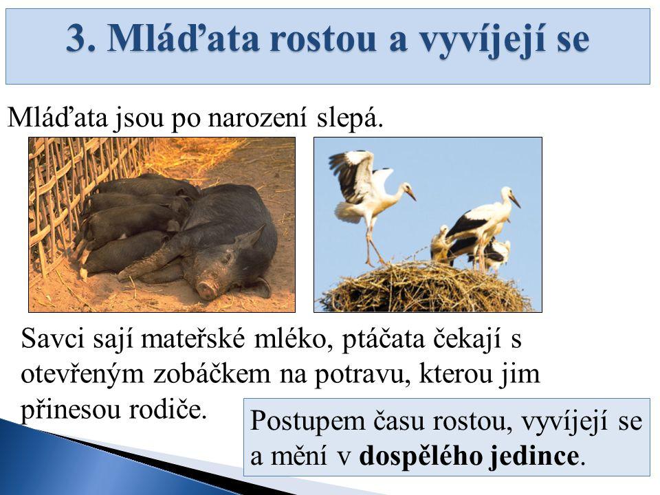 3. Mláďata rostou a vyvíjejí se Mláďata jsou po narození slepá. Savci sají mateřské mléko, ptáčata čekají s otevřeným zobáčkem na potravu, kterou jim