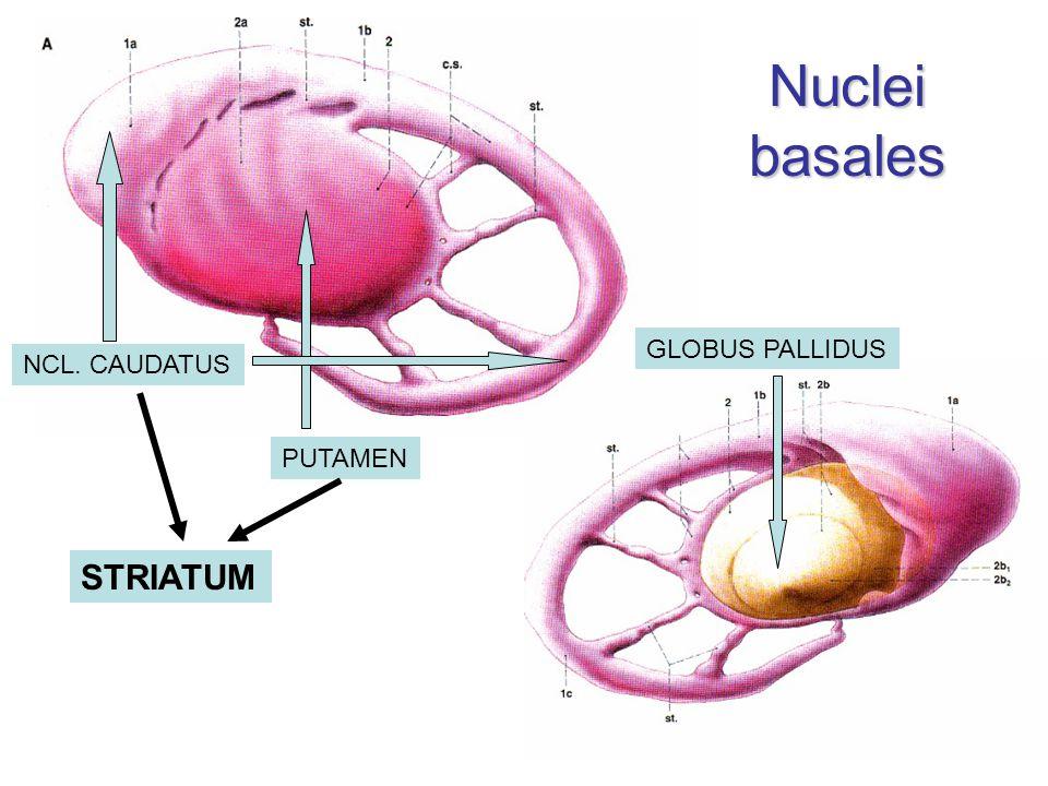 PUTAMEN GLOBUS PALLIDUS NCL. CAUDATUS STRIATUM