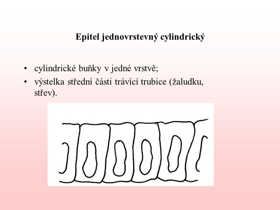 Epitel jednovrstevný cylindrický cylindrické buňky v jedné vrstvě; výstelka střední části trávící trubice (žaludku, střev).
