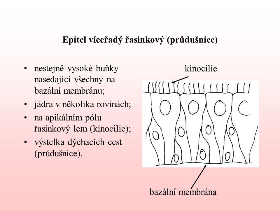 Epitel víceřadý řasinkový (průdušnice) nestejně vysoké buňky nasedající všechny na bazální membránu; jádra v několika rovinách; na apikálním pólu řasinkový lem (kinocilie); výstelka dýchacích cest (průdušnice).