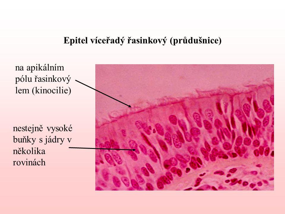 Epitel víceřadý řasinkový (průdušnice) nestejně vysoké buňky s jádry v několika rovinách na apikálním pólu řasinkový lem (kinocilie)