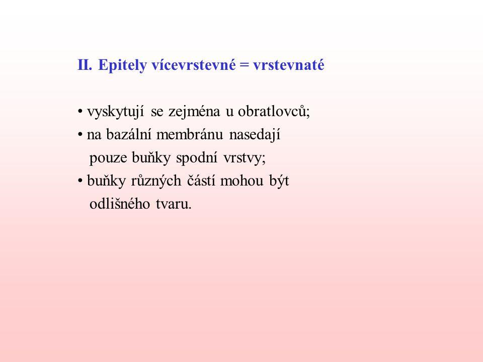 II. Epitely vícevrstevné = vrstevnaté vyskytují se zejména u obratlovců; na bazální membránu nasedají pouze buňky spodní vrstvy; buňky různých částí m