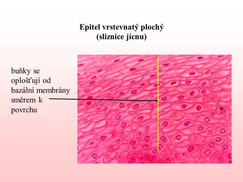 Epitel vrstevnatý plochý (sliznice jícnu) buňky se oplošťují od bazální membrány směrem k povrchu
