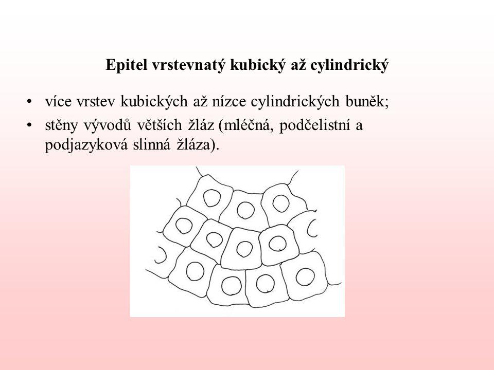 Epitel vrstevnatý kubický až cylindrický více vrstev kubických až nízce cylindrických buněk; stěny vývodů větších žláz (mléčná, podčelistní a podjazyková slinná žláza).