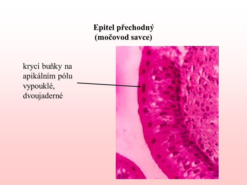 Epitel přechodný (močovod savce) krycí buňky na apikálním pólu vypouklé, dvoujaderné