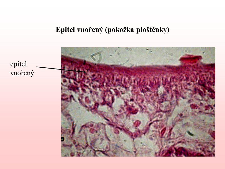 Epitel vnořený (pokožka ploštěnky) epitel vnořený