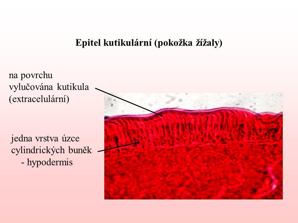 Epitel kutikulární (pokožka žížaly) jedna vrstva úzce cylindrických buněk - hypodermis na povrchu vylučována kutikula (extracelulární)