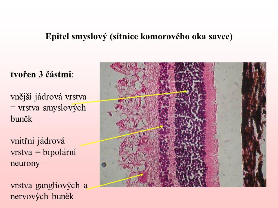 Epitel smyslový (sítnice komorového oka savce) tvořen 3 částmi: vnější jádrová vrstva = vrstva smyslových buněk vnitřní jádrová vrstva = bipolární neurony vrstva gangliových a nervových buněk