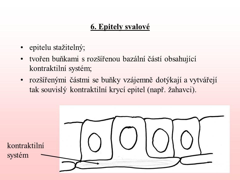 6. Epitely svalové epitelu stažitelný; tvořen buňkami s rozšířenou bazální částí obsahující kontraktilní systém; rozšířenými částmi se buňky vzájemně