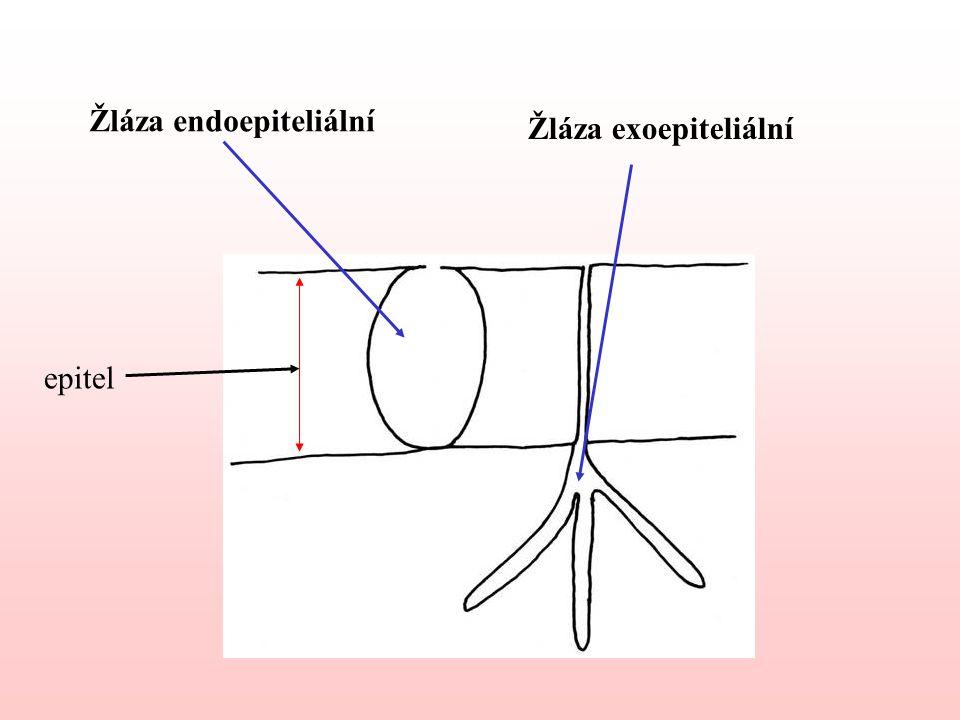 Žláza endoepiteliální Žláza exoepiteliální epitel