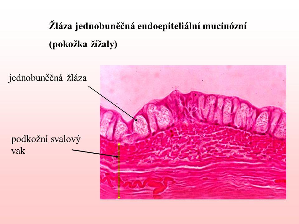 Žláza jednobuněčná endoepiteliální mucinózní (pokožka žížaly) jednobuněčná žláza podkožní svalový vak