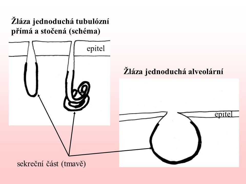 Žláza jednoduchá tubulózní přímá a stočená (schéma) Žláza jednoduchá alveolární sekreční část (tmavě) epitel