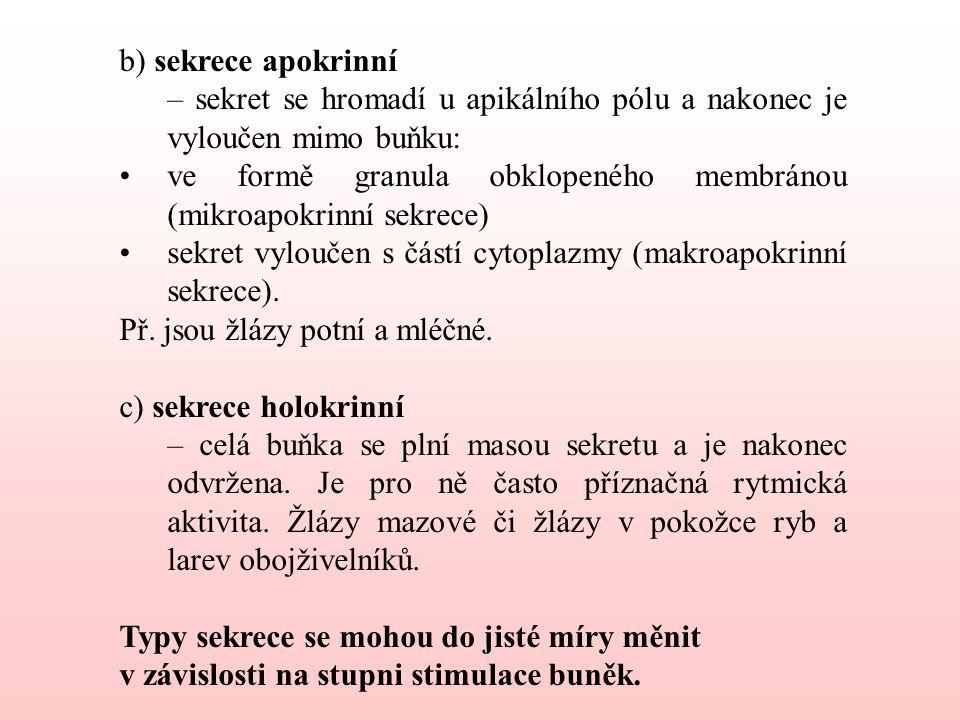 b) sekrece apokrinní – sekret se hromadí u apikálního pólu a nakonec je vyloučen mimo buňku: ve formě granula obklopeného membránou (mikroapokrinní sekrece) sekret vyloučen s částí cytoplazmy (makroapokrinní sekrece).