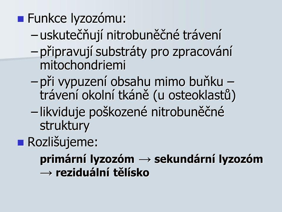 Funkce lyzozómu: Funkce lyzozómu: –uskutečňují nitrobuněčné trávení –připravují substráty pro zpracování mitochondriemi –při vypuzení obsahu mimo buňku – trávení okolní tkáně (u osteoklastů) –likviduje poškozené nitrobuněčné struktury Rozlišujeme: Rozlišujeme: primární lyzozóm → sekundární lyzozóm → reziduální tělísko