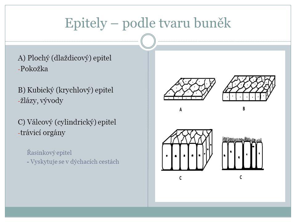 Epitely – podle tvaru buněk A) Plochý (dlaždicový) epitel - Pokožka B) Kubický (krychlový) epitel - žlázy, vývody C) Válcový (cylindrický) epitel - tr