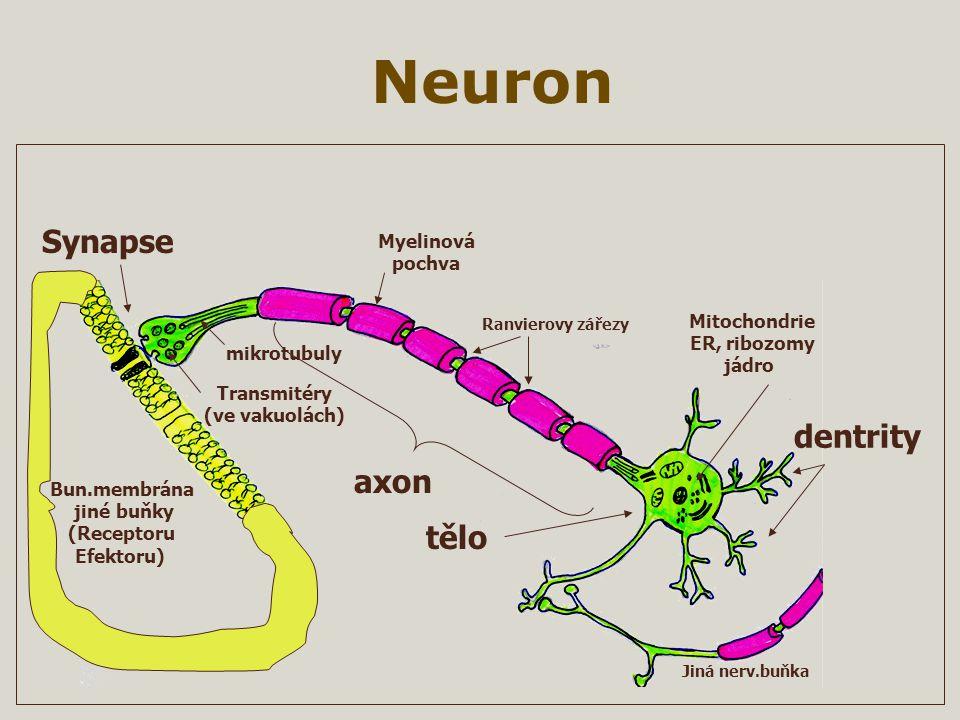 Neuron Jiná nerv.buňka Ranvierovy zářezy Transmitéry (ve vakuolách) mikrotubuly dentrity axon Myelinová pochva Mitochondrie ER, ribozomy jádro Synapse