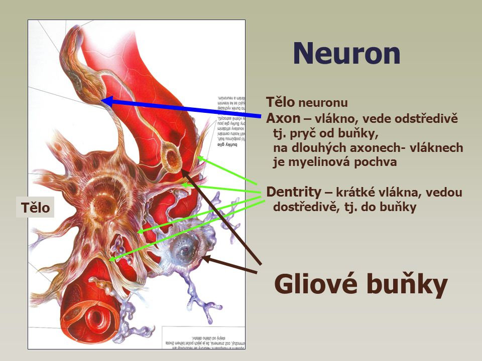 Neuron Tělo neuronu Axon – vlákno, vede odstředivě tj. pryč od buňky, na dlouhých axonech- vláknech je myelinová pochva Dentrity – krátké vlákna, vedo