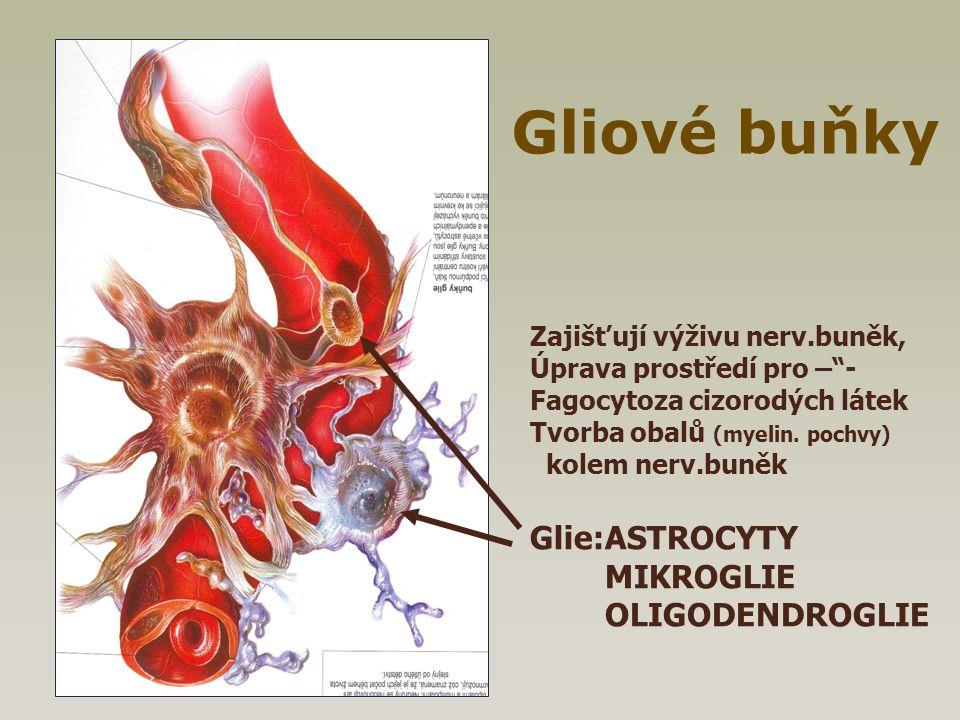 """Zajišťují výživu nerv.buněk, Úprava prostředí pro –""""- Fagocytoza cizorodých látek Tvorba obalů (myelin. pochvy) kolem nerv.buněk Glie:ASTROCYTY MIKROG"""