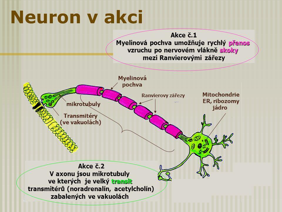 Neuron v akci Ranvierovy zářezy Transmitéry (ve vakuolách) mikrotubuly Akce č.2 V axonu jsou mikrotubuly transit ve kterých je velký transit transmité