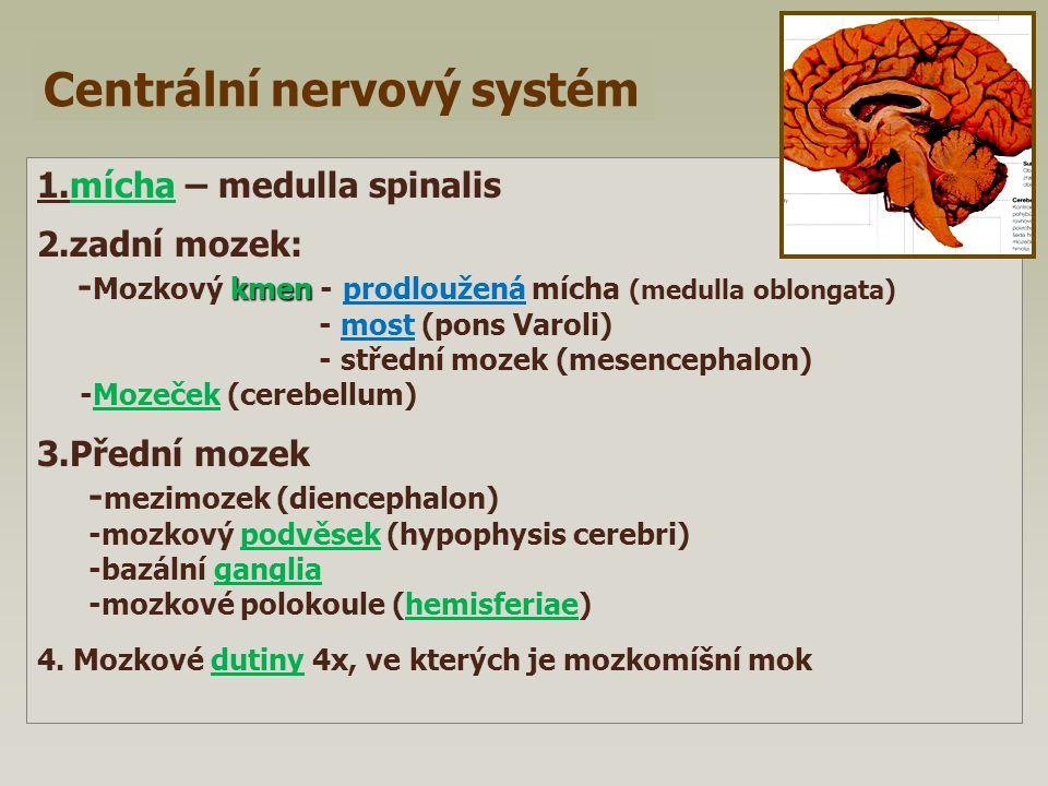 Centrální nervový systém 1.mícha – medulla spinalis 2.zadní mozek: kmen - Mozkový kmen - prodloužená mícha (medulla oblongata) - most (pons Varoli) -
