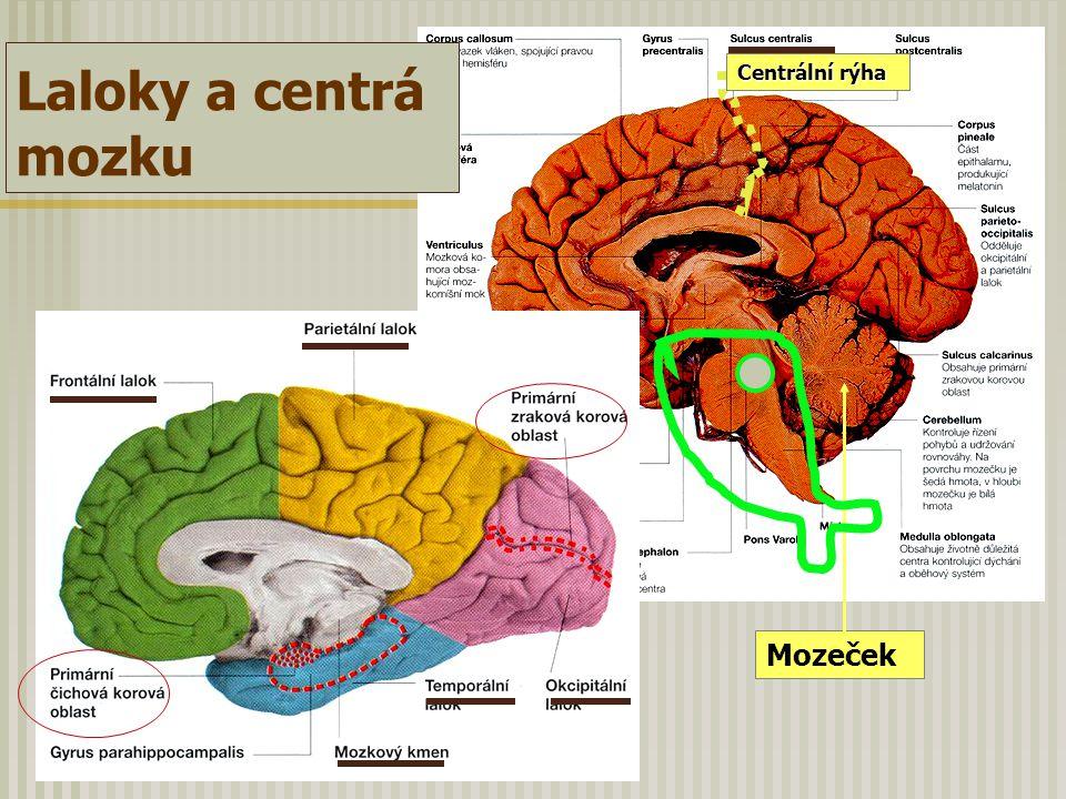 Mozeček Centrální rýha Laloky a centrá mozku