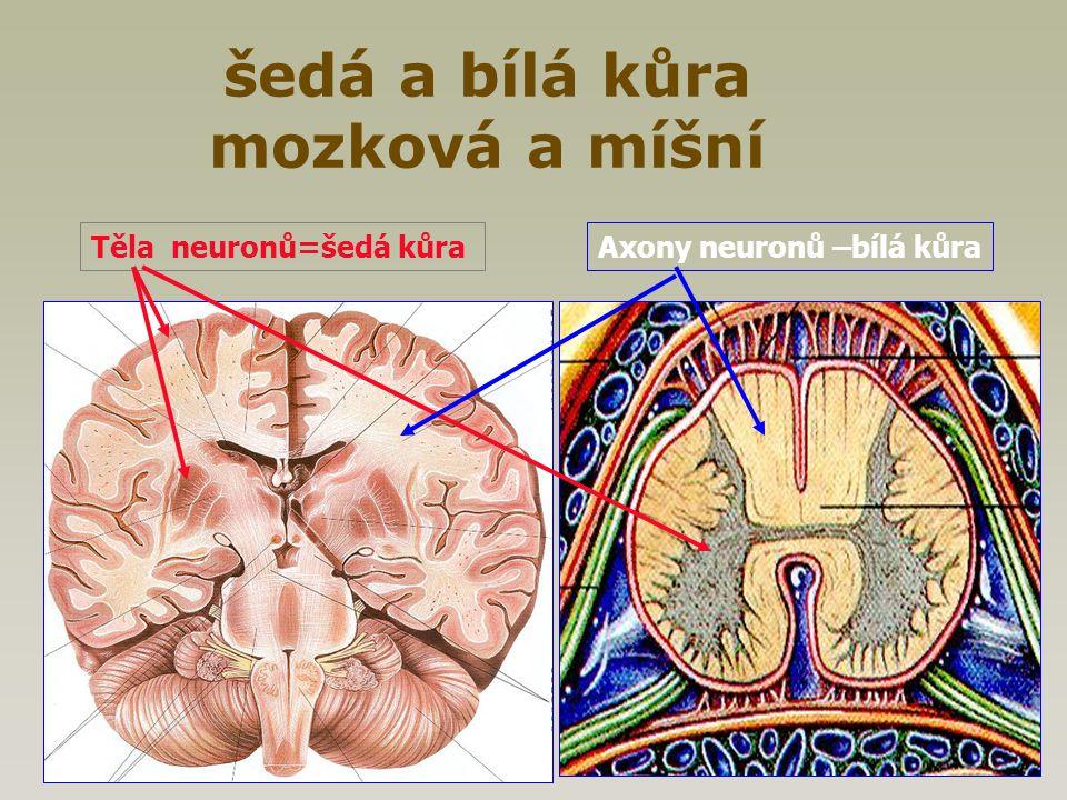 šedá a bílá kůra mozková a míšní Těla neuronů=šedá kůraAxony neuronů –bílá kůra