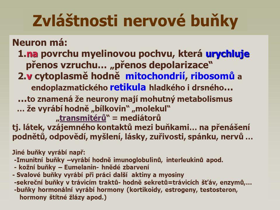 Neuron Jiná nerv.buňka Ranvierovy zářezy Transmitéry (ve vakuolách) mikrotubuly dentrity axon Myelinová pochva Mitochondrie ER, ribozomy jádro Synapse Bun.membrána jiné buňky (Receptoru Efektoru) tělo