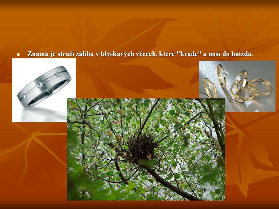 Straka Straky mají nějakou společenskou provázanost, vzájemné společenské postavení a důležitost. Projevuje se to i na jejich hnízdech. Některá hnízda