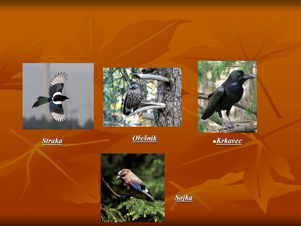 Vrána Zajímavosti Má velmi ráda vajíčka a mláďata veškerých opeřenců, ale pustí se i do mláďat srstnaté zvěře.