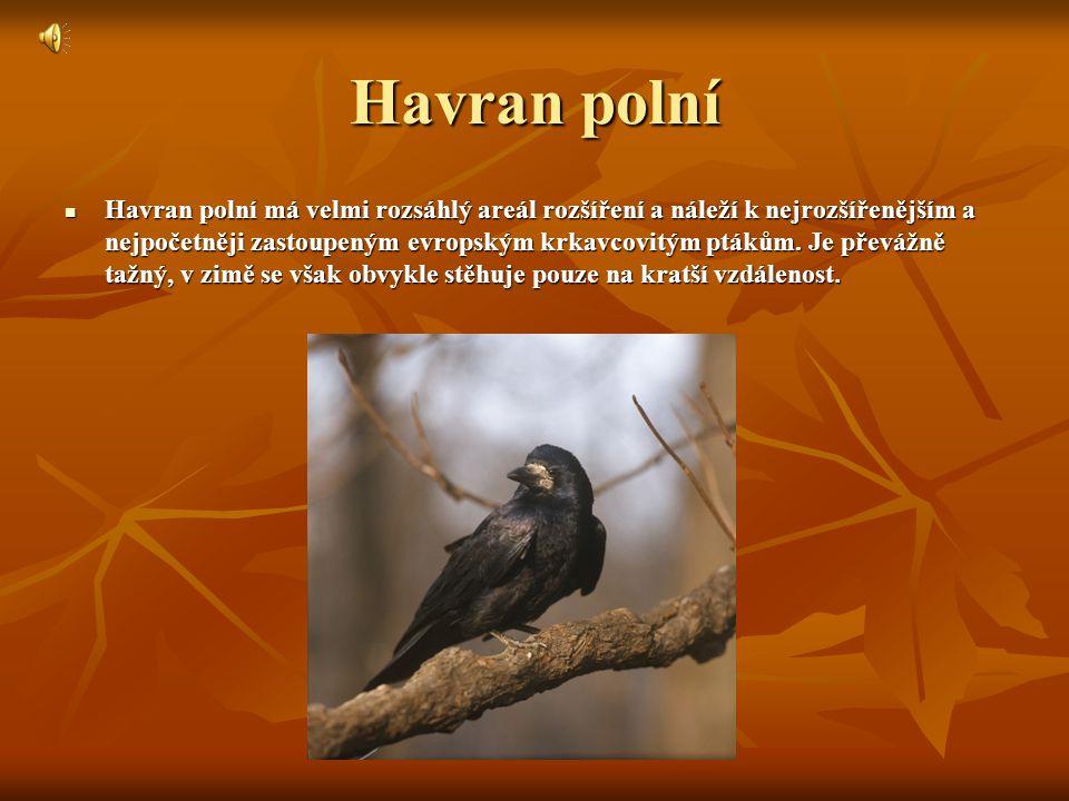 Havran polní Havran polní má velmi rozsáhlý areál rozšíření a náleží k nejrozšířenějším a nejpočetněji zastoupeným evropským krkavcovitým ptákům.