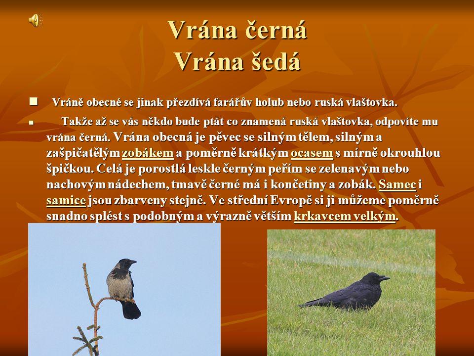 Vrána černá Vrána šedá Vráně obecné se jinak přezdívá farářův holub nebo ruská vlaštovka.