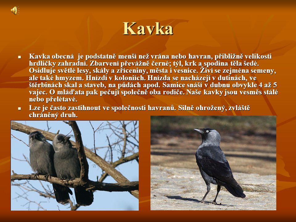 Kavka Kavka obecná je podstatně menší než vrána nebo havran, přibližně velikosti hrdličky zahradní.