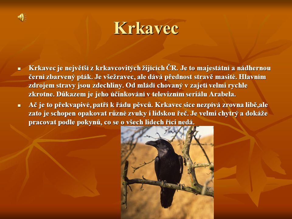 Krkavec Krkavec je největší z krkavcovitých žijících ČR.