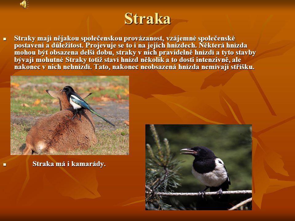 Ořešník - V ČR hnízdí lokálně v lesích středních a vyšších poloh ponejvíce mezi 500 - 1000 m n.m. - Není přesně známo, jak vlastně ořešníci své spižír