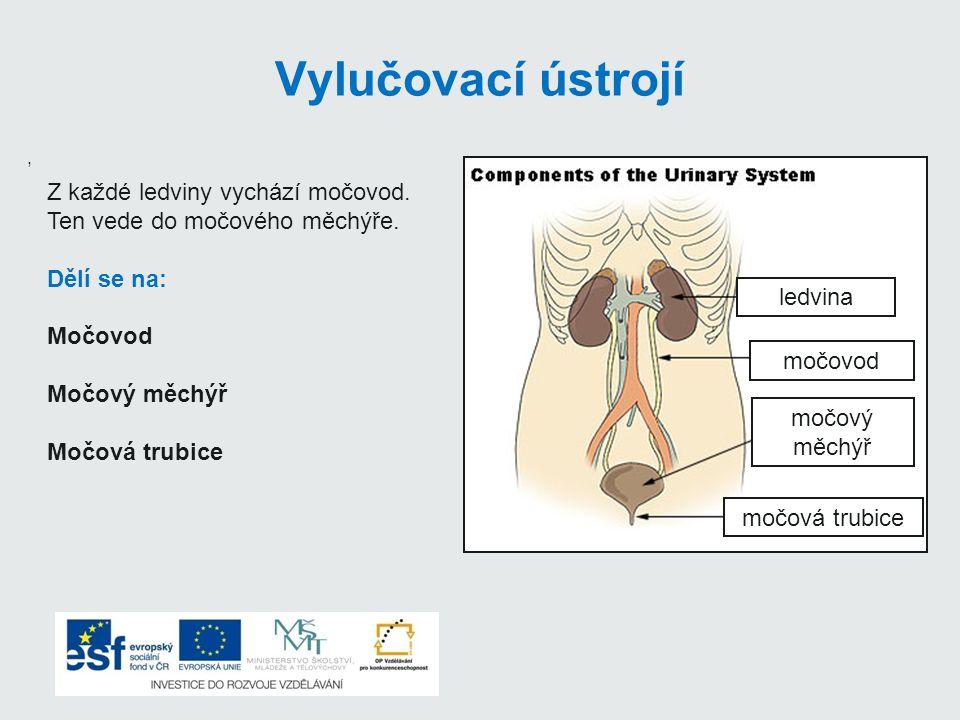 Vylučovací ústrojí, Z každé ledviny vychází močovod. Ten vede do močového měchýře. Dělí se na: Močovod Močový měchýř Močová trubice ledvina močovod mo