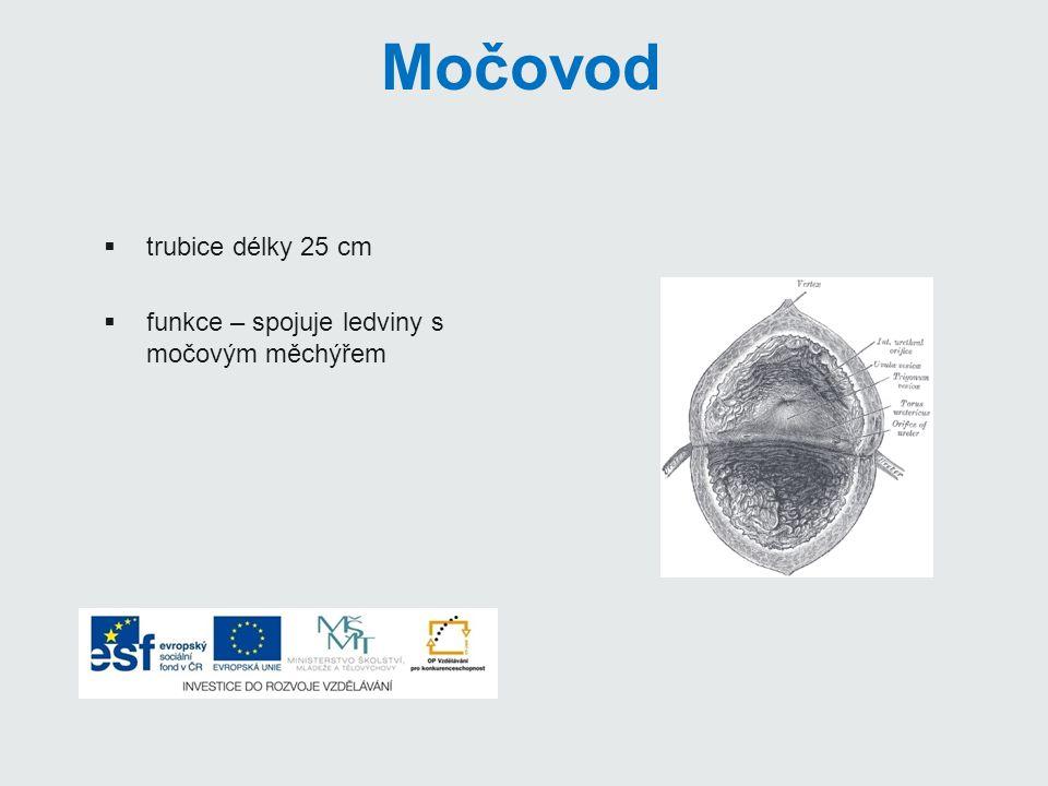 Močová trubice:  odvádí moč z těla ven  délka:  muži – kolem 20cm (slouží i jako pohlavní vývod)  ženy – 5cm (pouze k odvádění moči) ledvina močovod močový měchýř močová trubice