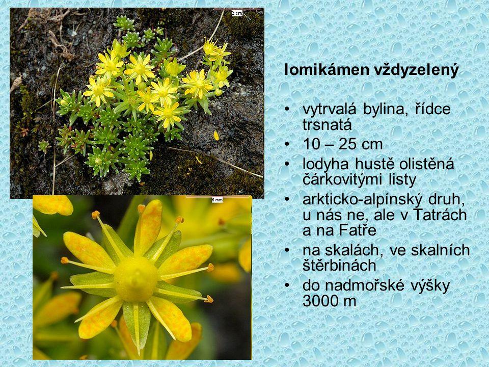 lomikámen vždyzelený vytrvalá bylina, řídce trsnatá 10 – 25 cm lodyha hustě olistěná čárkovitými listy arkticko-alpínský druh, u nás ne, ale v Tatrách a na Fatře na skalách, ve skalních štěrbinách do nadmořské výšky 3000 m
