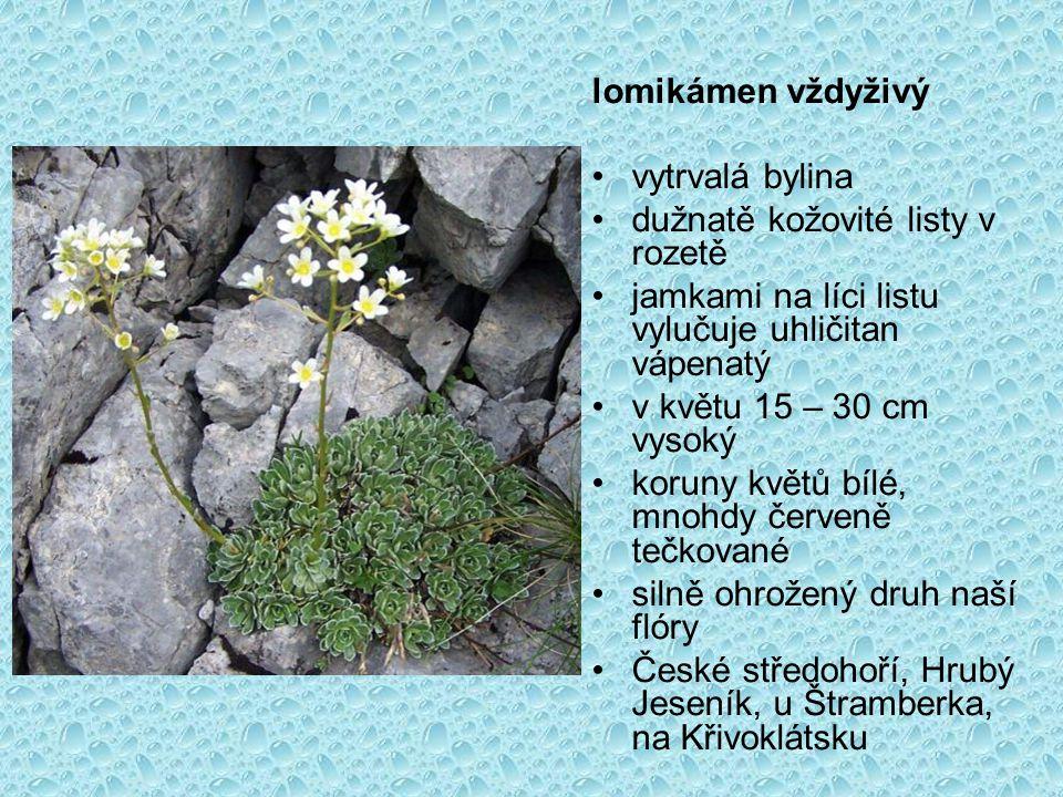 lomikámen vždyživý vytrvalá bylina dužnatě kožovité listy v rozetě jamkami na líci listu vylučuje uhličitan vápenatý v květu 15 – 30 cm vysoký koruny květů bílé, mnohdy červeně tečkované silně ohrožený druh naší flóry České středohoří, Hrubý Jeseník, u Štramberka, na Křivoklátsku