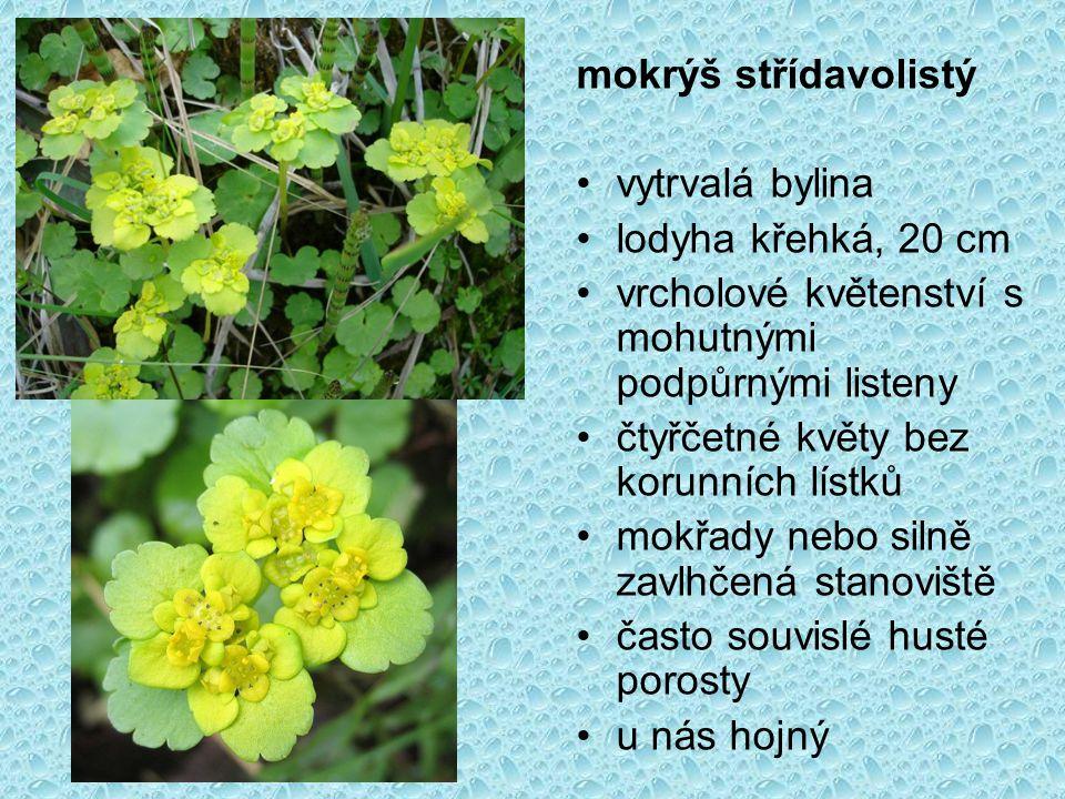 mokrýš střídavolistý vytrvalá bylina lodyha křehká, 20 cm vrcholové květenství s mohutnými podpůrnými listeny čtyřčetné květy bez korunních lístků mokřady nebo silně zavlhčená stanoviště často souvislé husté porosty u nás hojný