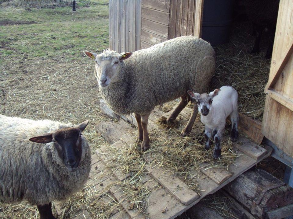 Mladá hospodářská zvířata Chov ovcí Odchov mláďat po porodu mlezivo do 2, nejpozději do 6 hodin V prvních 14 dnech přístup k matce jehně vstává 30 min.po porodu, saje přímo od matky při nedostatku mateřského mléka - přikrmování např.