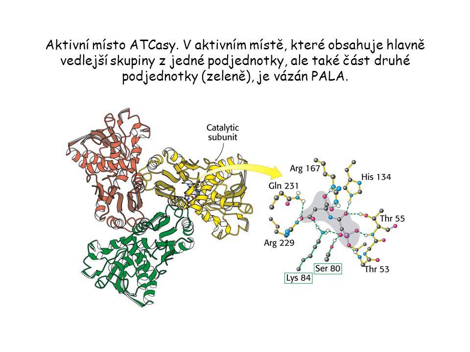 Cytidintrifosfát (CTP) stabilizuje T stav. CTP se váže na regulační podjednotky ATCasy.