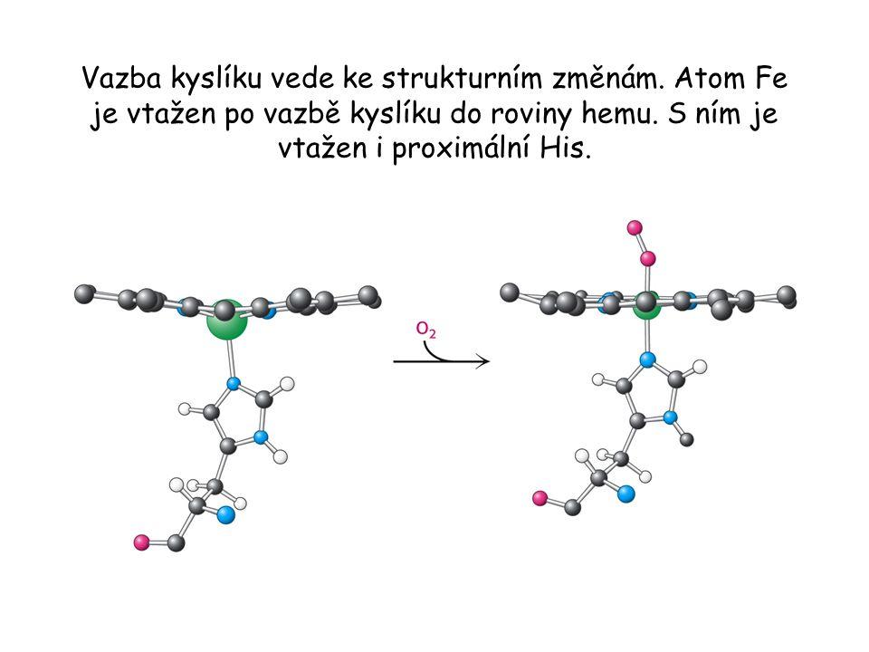 Vazba kyslíku vede ke strukturním změnám.Atom Fe je vtažen po vazbě kyslíku do roviny hemu.