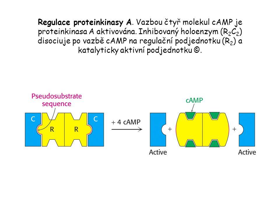 Regulace proteinkinasy A.Vazbou čtyř molekul cAMP je proteinkinasa A aktivována.