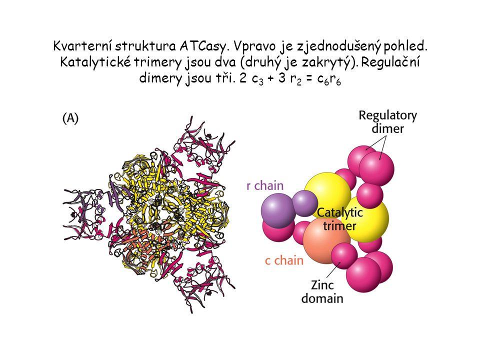 Kvarterní struktura ATCasy. Vpravo je zjednodušený pohled. Katalytické trimery jsou dva (druhý je zakrytý). Regulační dimery jsou tři. 2 c 3 + 3 r 2 =