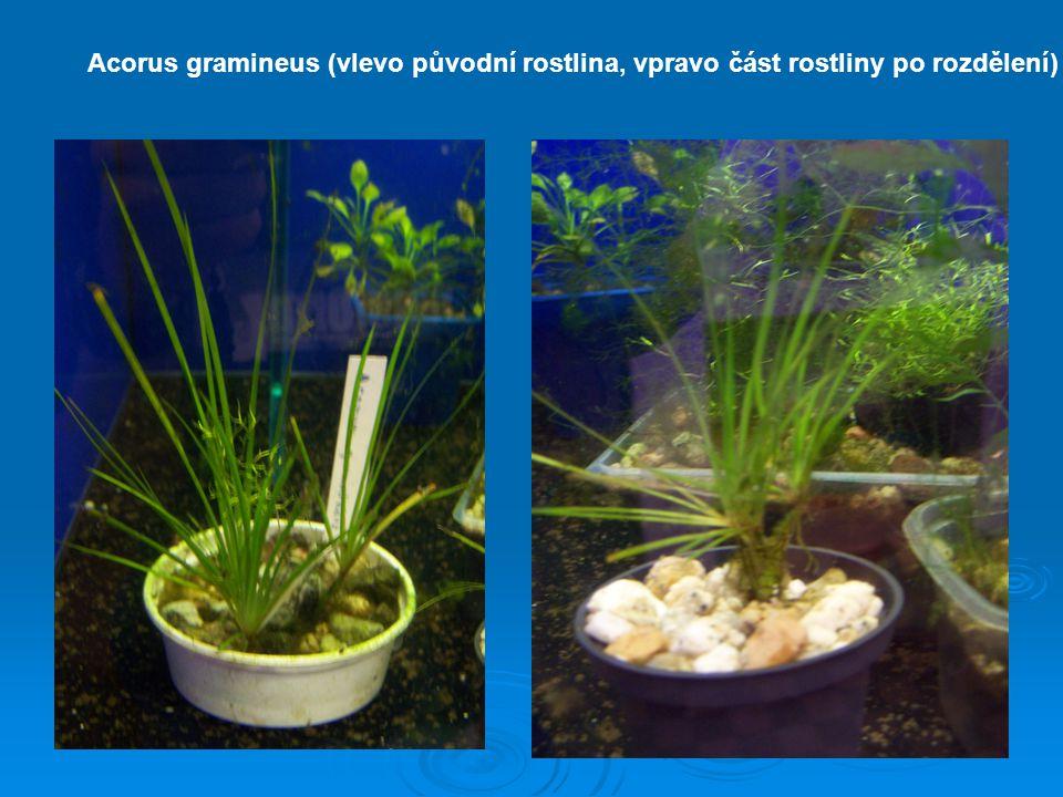 Acorus gramineus (vlevo původní rostlina, vpravo část rostliny po rozdělení)