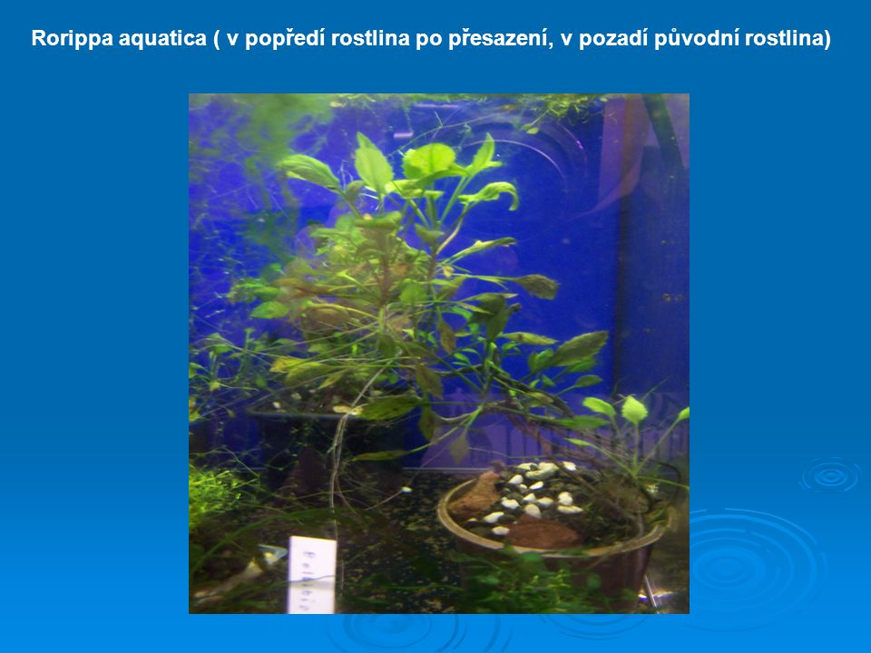 Rorippa aquatica ( v popředí rostlina po přesazení, v pozadí původní rostlina)