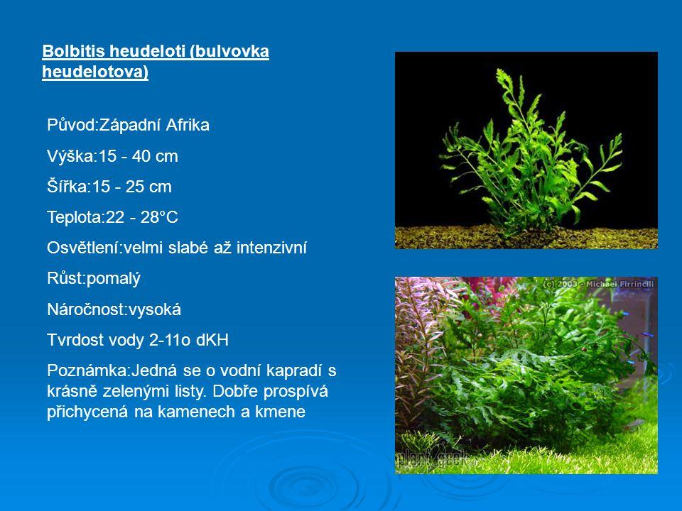 Bolbitis heudeloti (bulvovka heudelotova) Původ:Západní Afrika Výška:15 - 40 cm Šířka:15 - 25 cm Teplota:22 - 28°C Osvětlení:velmi slabé až intenzivní