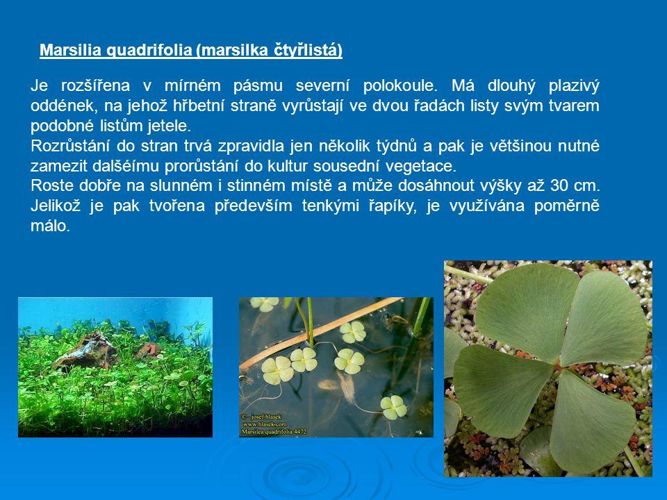 Marsilia quadrifolia (marsilka čtyřlistá) Je rozšířena v mírném pásmu severní polokoule. Má dlouhý plazivý oddének, na jehož hřbetní straně vyrůstají
